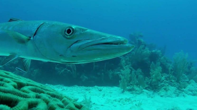 Características del pez barracuda