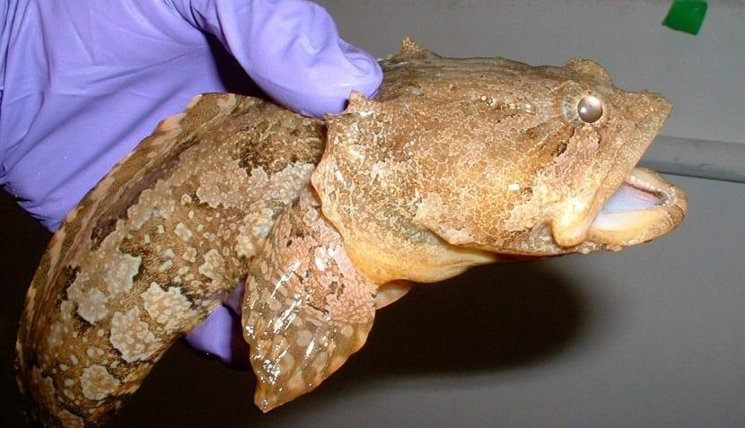 Características del pez sapo