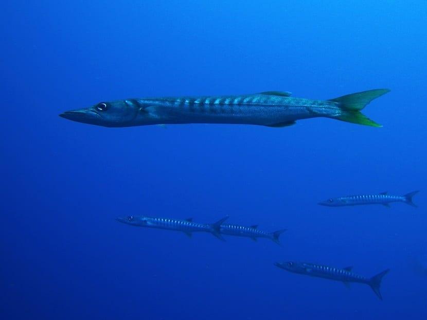 Cría de barracuda