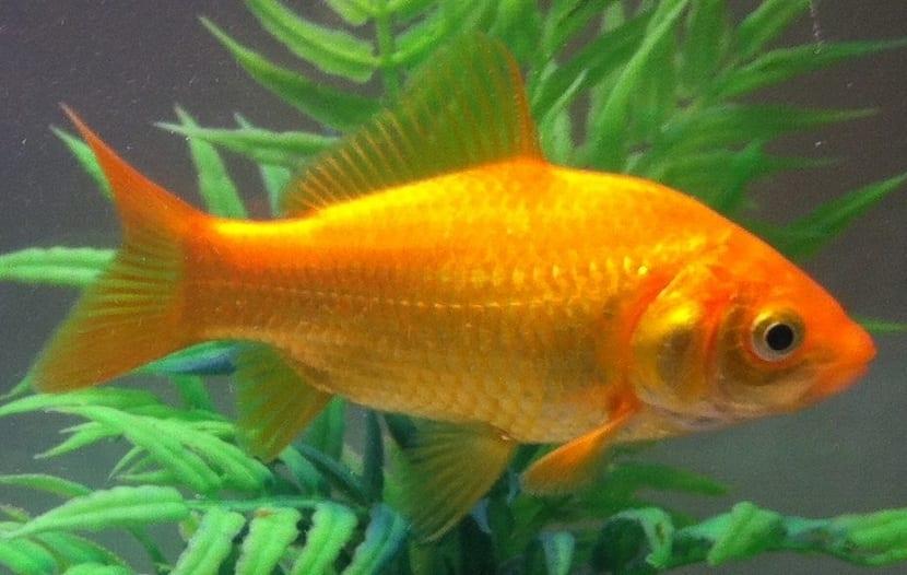 Cuidados necesarios del pez dorado