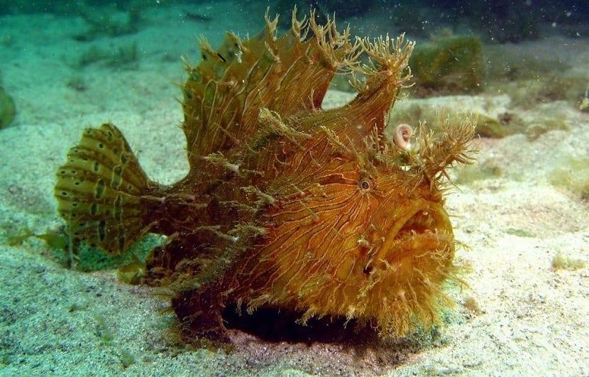 Especies de pez sapo