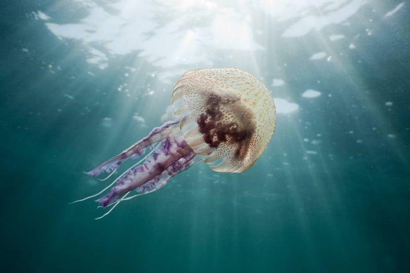Medusa de mar nadando