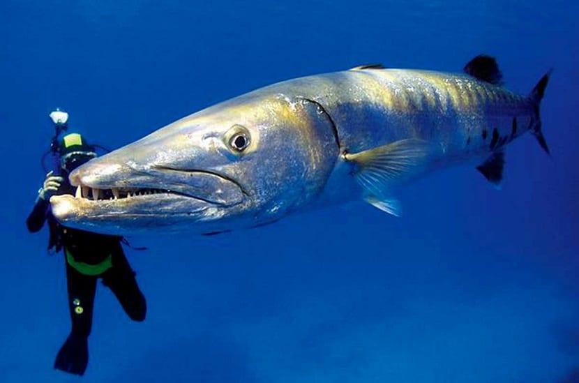Pez barracuda y ser humano
