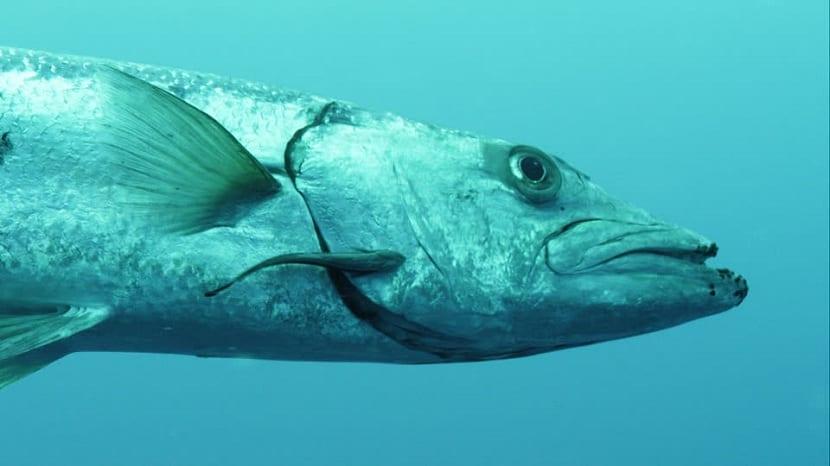 Pez barracuda