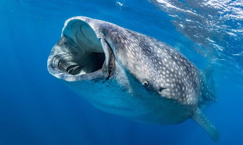 Alimentación del tiburón ballena