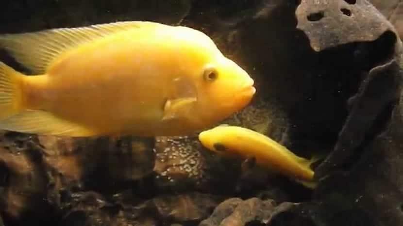 Amphilophus citrinellus en acuario