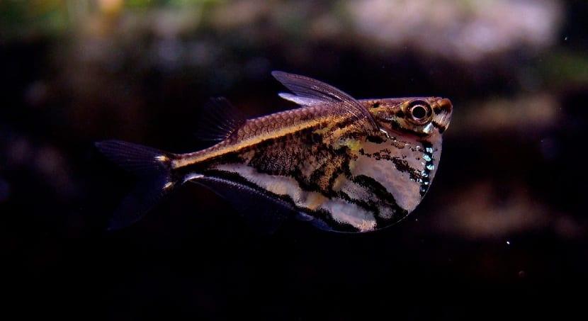 Características del pez hacha