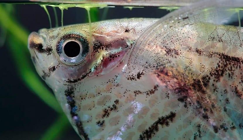 Comportamiento del pez hacha