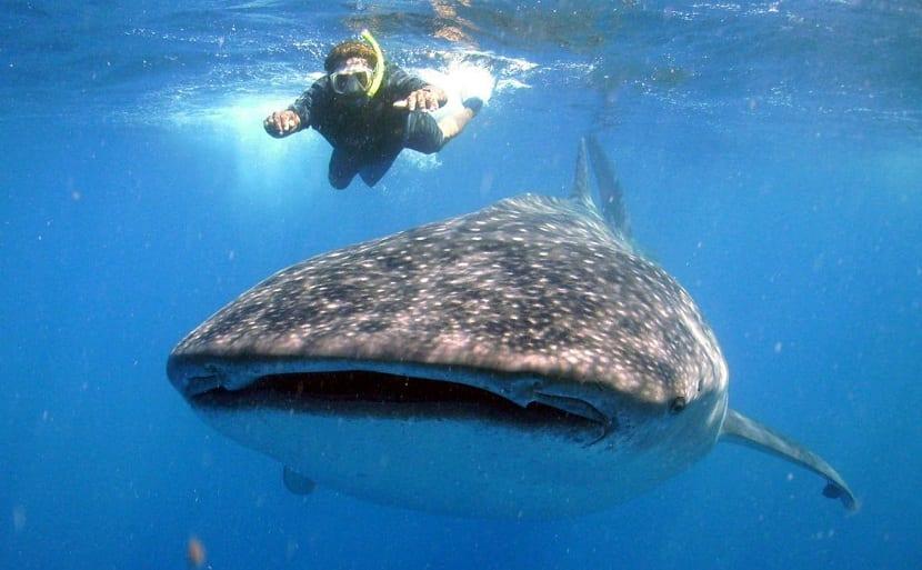 Comportamiento del tiburón ballena