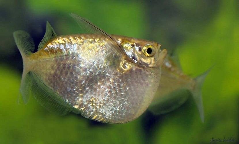 Cuidados del pez hacha