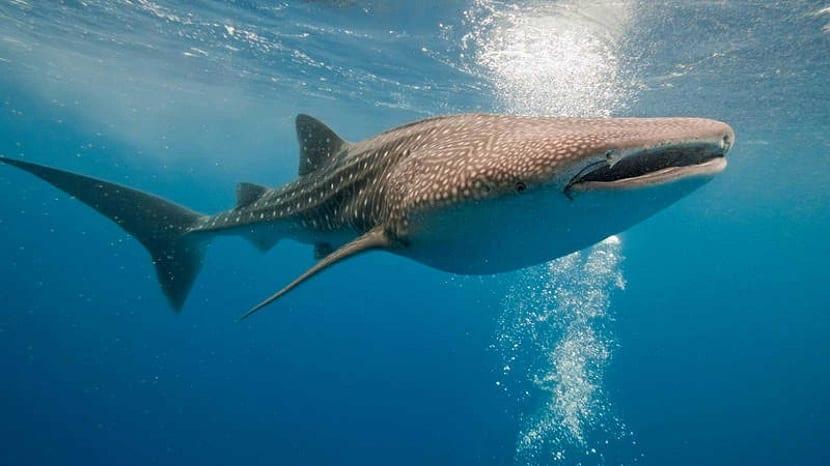 Hábitat del tiburón ballena