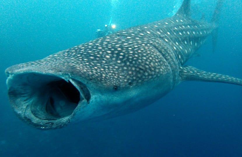 Reproducción del tiburón ballena