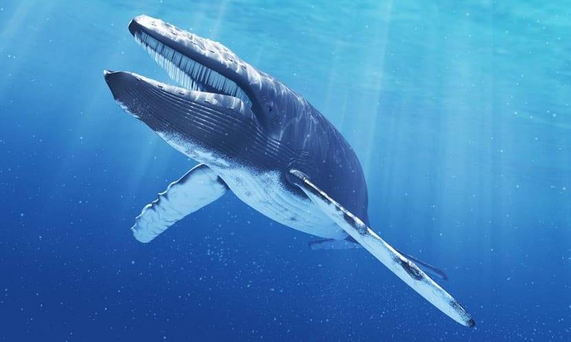 Alimentación de la ballena azul