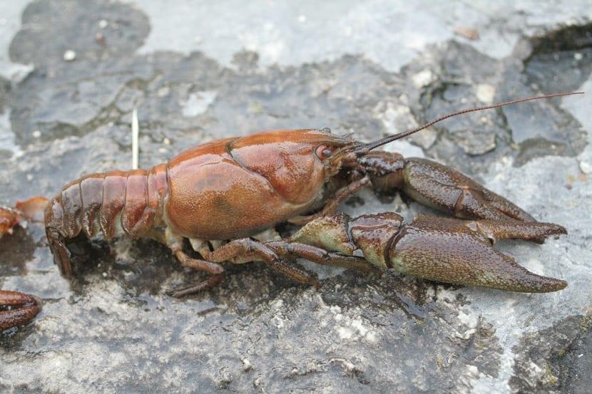 Alimentacion del cangrejo de rio