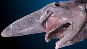 Boca del tiburón duende
