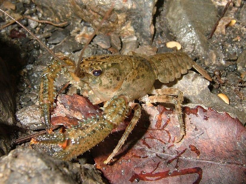 Cangrejo de rio comiendo