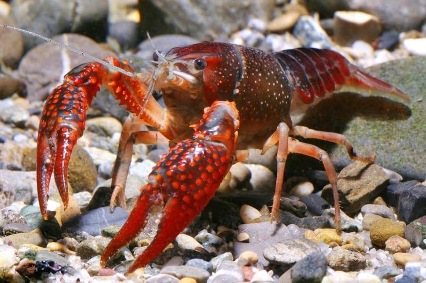 Características del cangrejo de rio