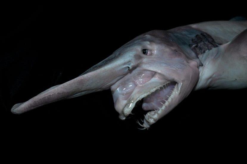 Características del tiburon duende
