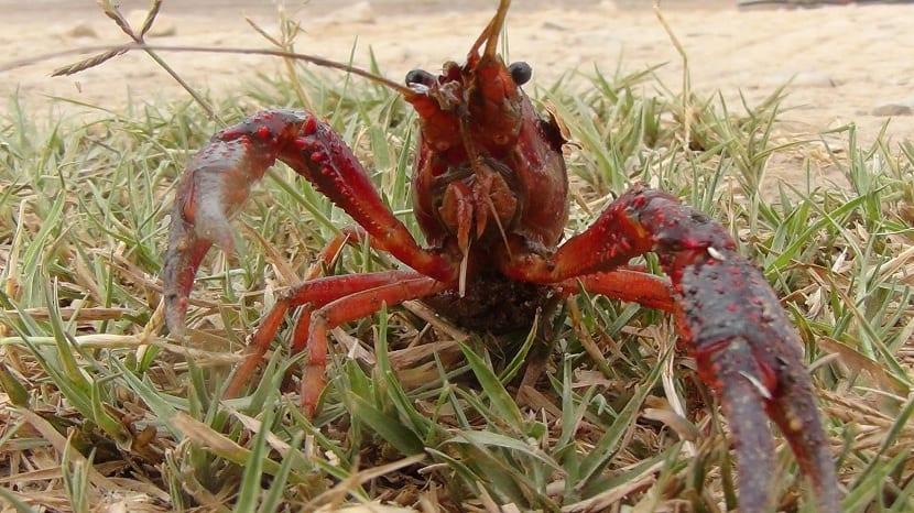 Partes del cuerpo del cangrejo de rio