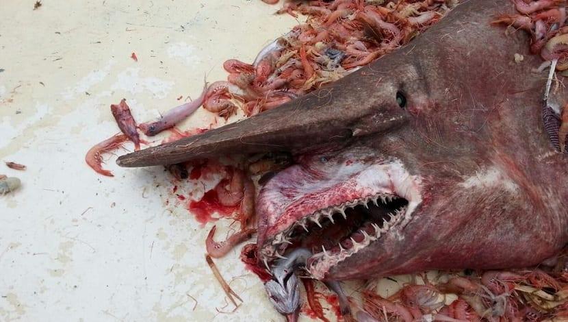 Tiburón duende captur