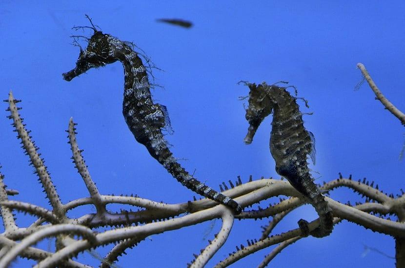 caballitos de mar camuflados