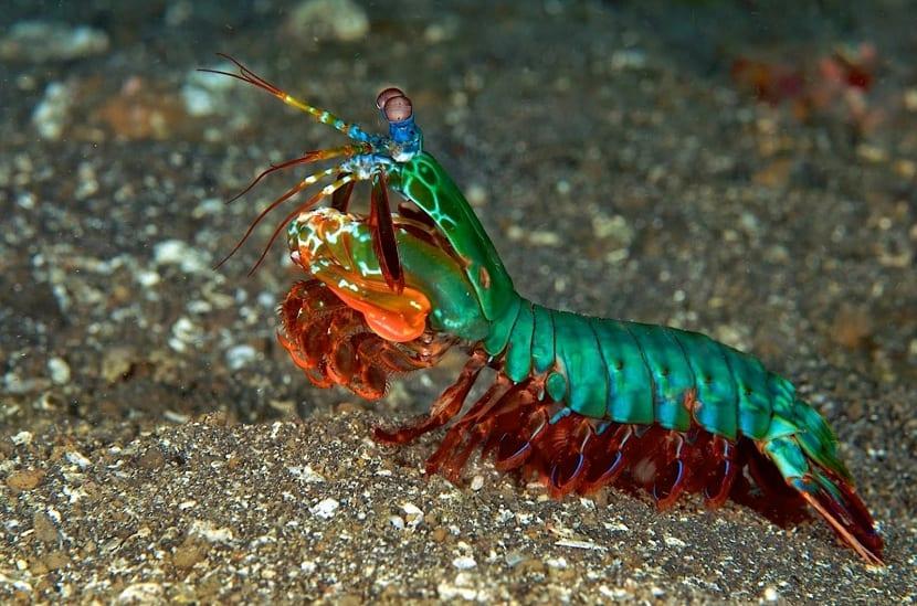 Características de la langosta mantis