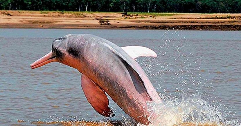 Características del delfin rosado