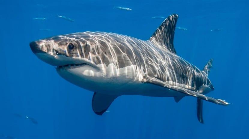 Características del tiburón tigre