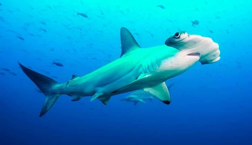 Características del tiburon martillo