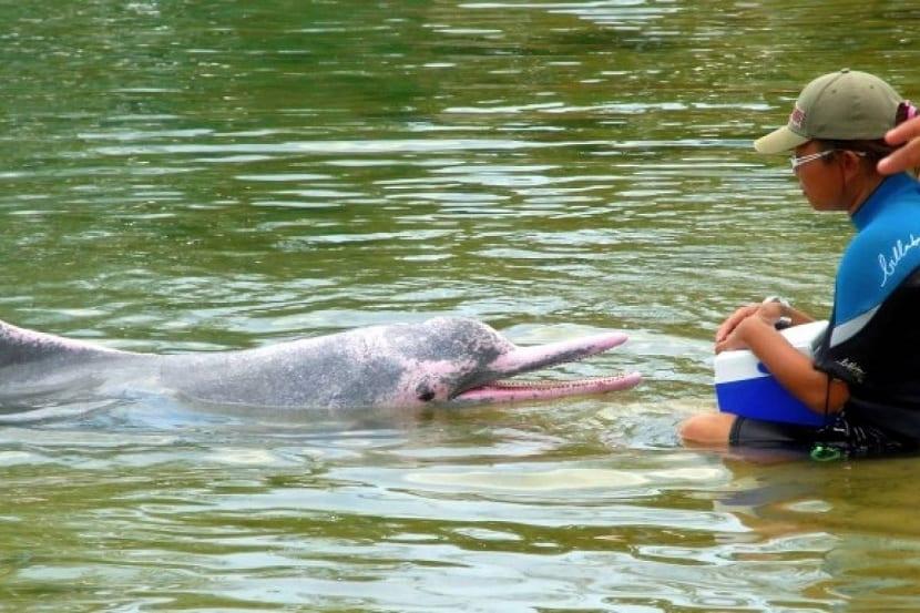 Comportamiento del delfin rosa