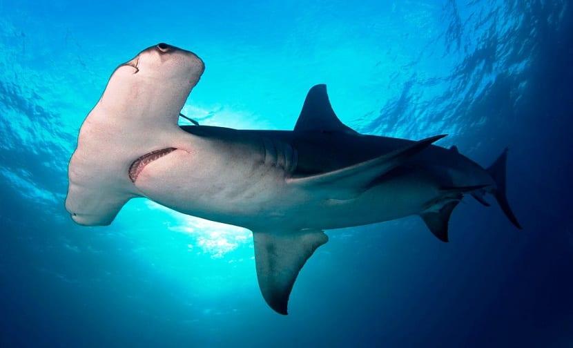Curiosidades del tiburón martillo