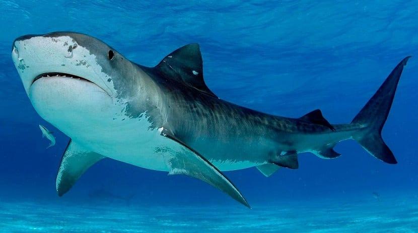 Descripción del tiburón tigre