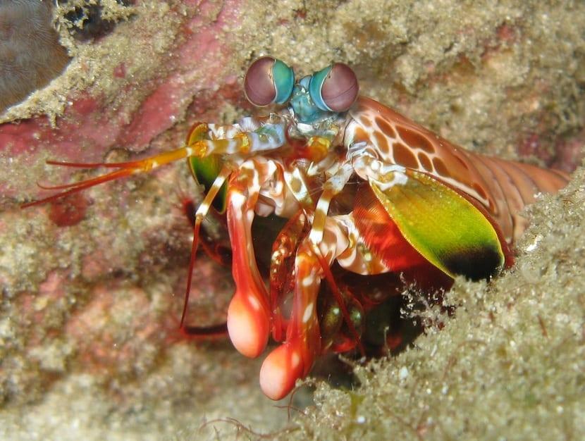 Hábitat de la langosta mantis