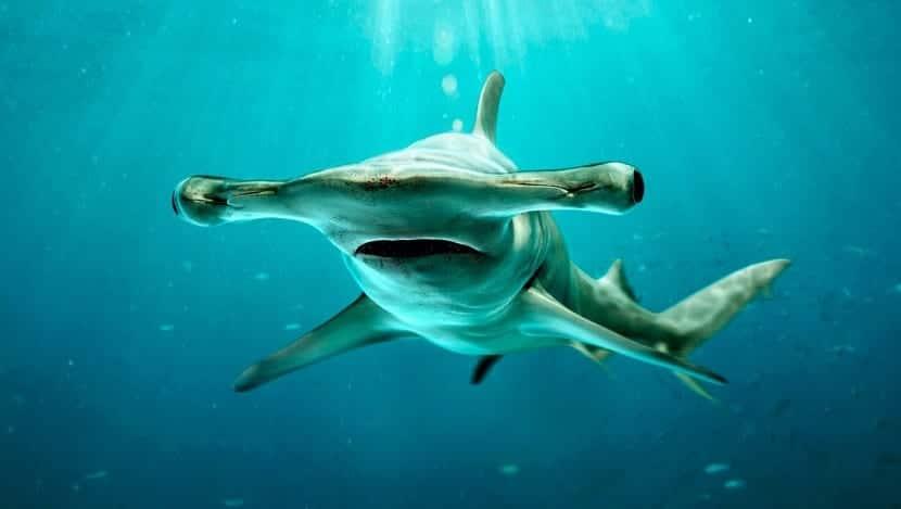 Hábitat del tiburón martillo