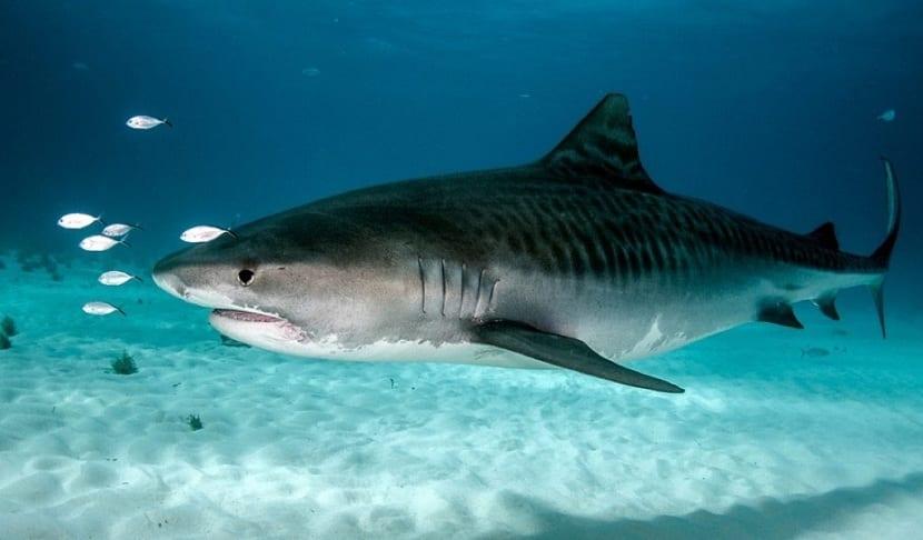 Habita del tiburon tigre