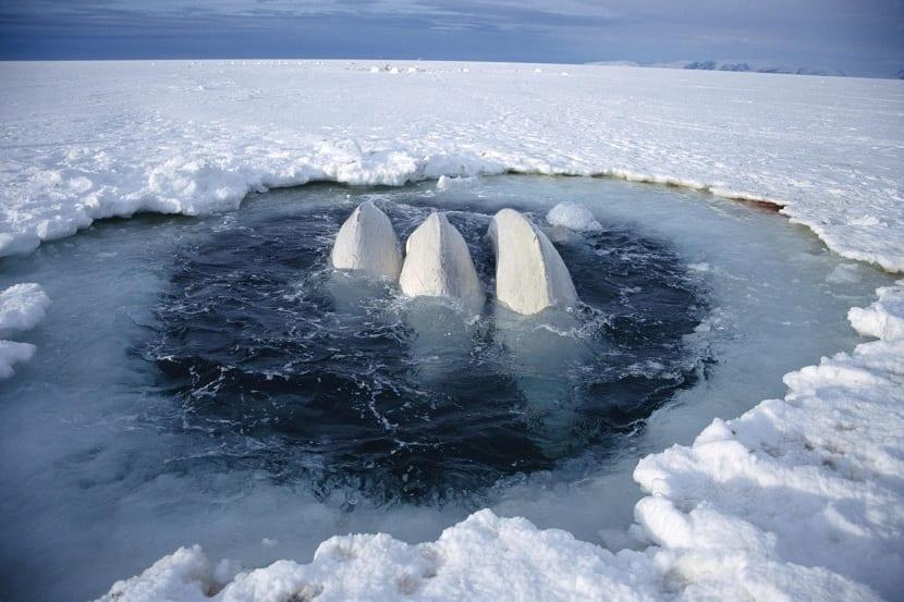 Habitat ballena blanca