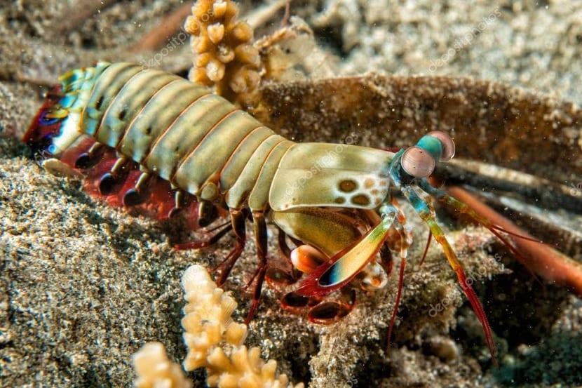 Reproducción de la langosta mantis