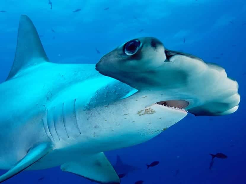 Reproducción del tiburón martillo