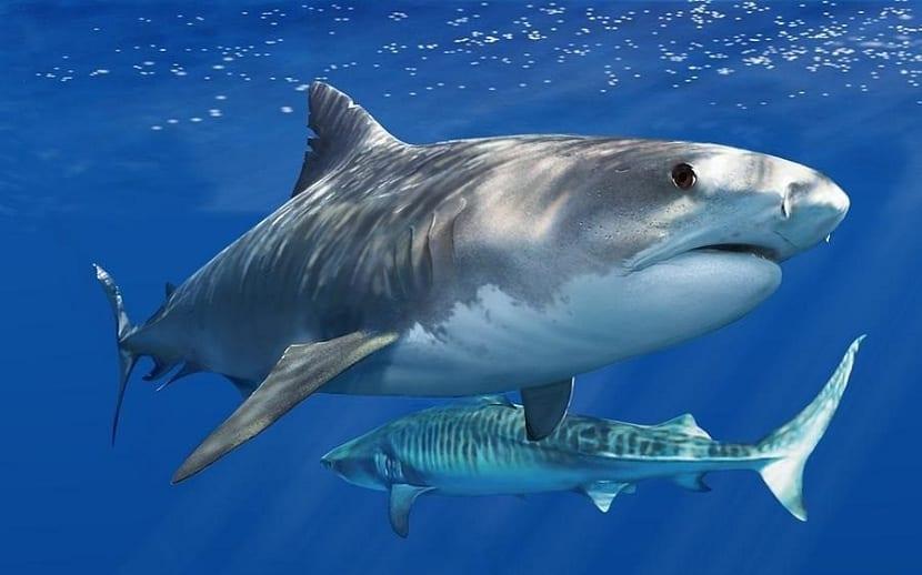 Reproduccion del tiburon tigre