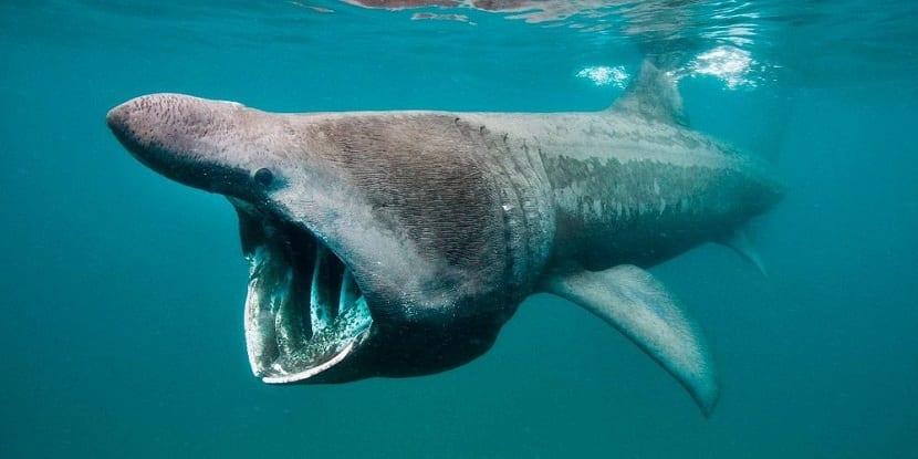 Boca del tiburón peregrino