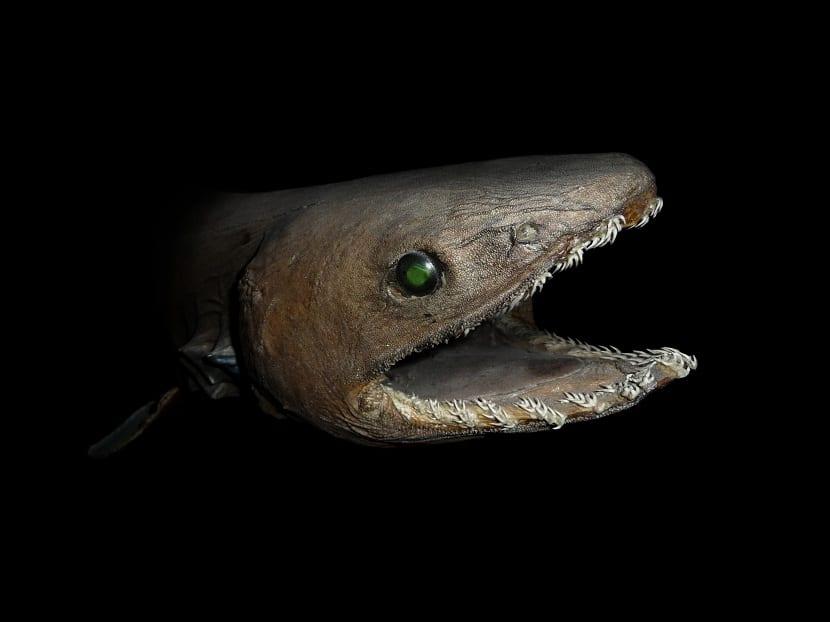 Características del tiburón anguila