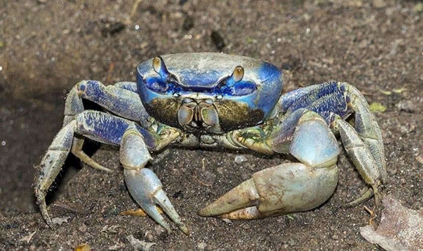 Caracteristicas cangrejo azul