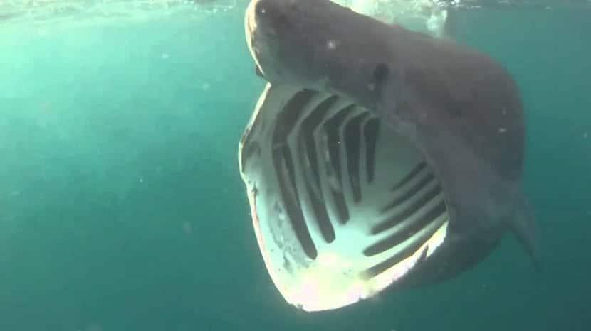 Como se alimenta el tiburón peregrino