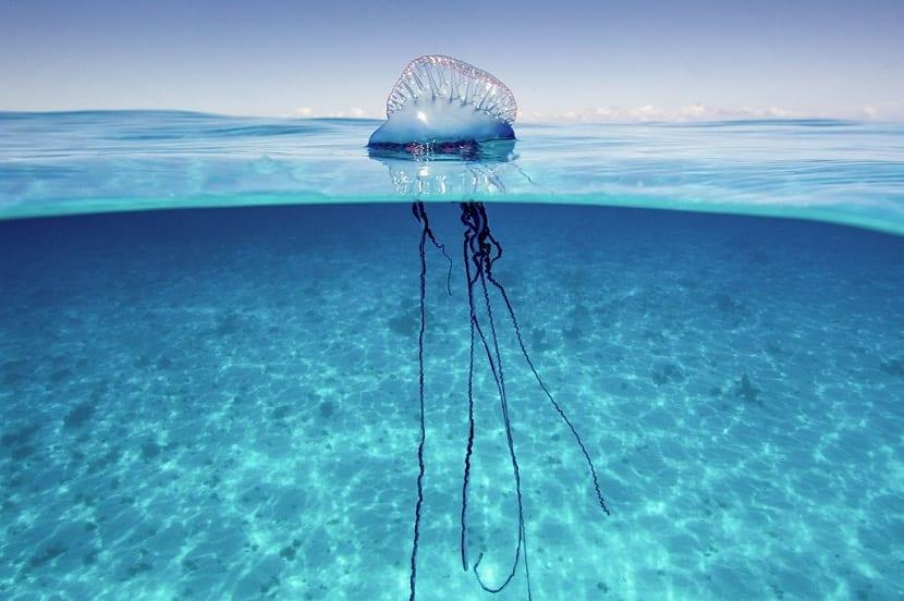 Medusa carabela venenosa