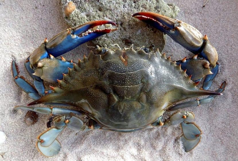 Modo de vida cangrejo de color azul