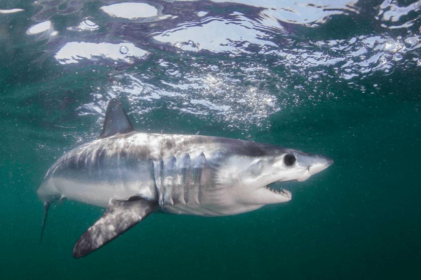 Agresividad del tiburón mako