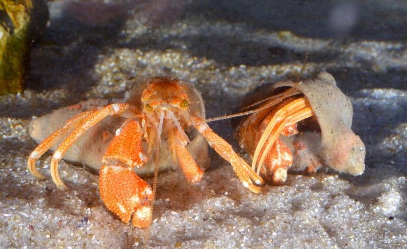 Habitat del cangrejo ermitaño