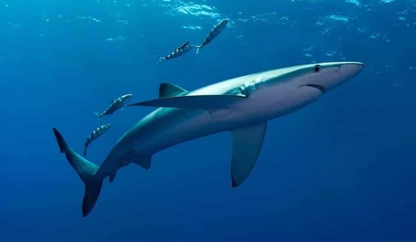 Habitat del tiburón mako