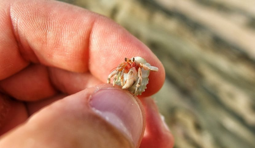 Reproducción del cangrejo ermitaño