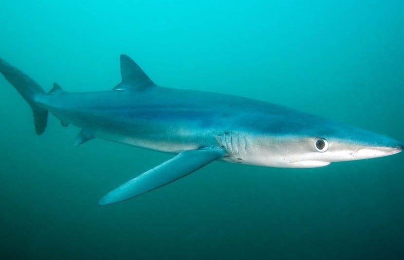 Amenazas del tiburón azul
